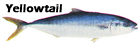 Yellowtail Jack Not Tuna